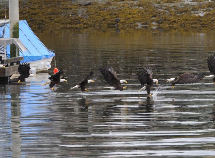 Bald Eagle in flight pattern