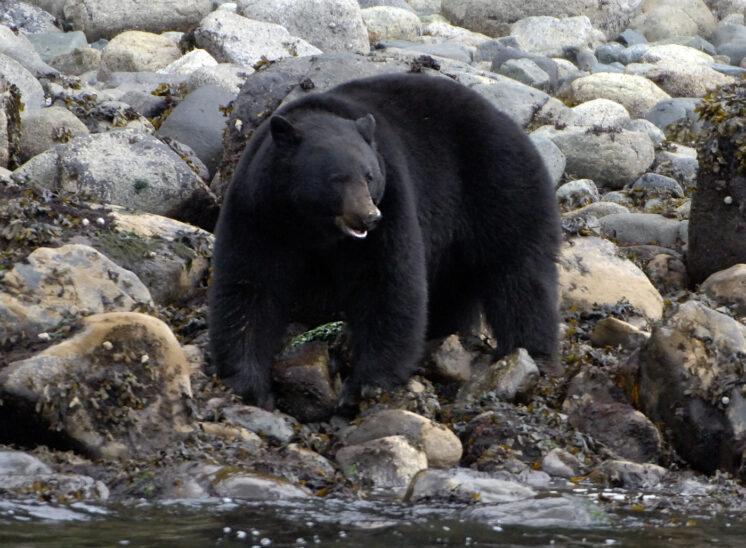 black bear, Inside Passage