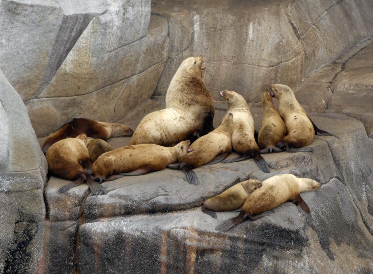 Sea Lion haul-out