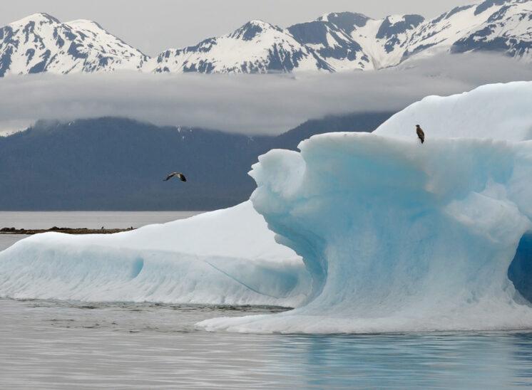 Bald Eagle with iceberg
