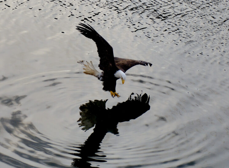 Eagle fishing with reflection
