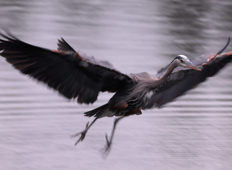 A Great Blue Heron in flight, well after sunset, partially motion-blurred from the tracking long exposure. © Jerry and Lois Photography, all rights reserved