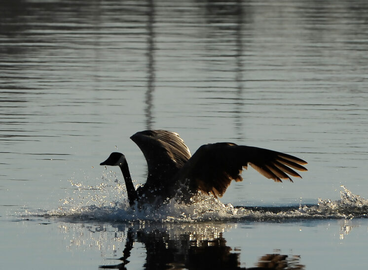 A Canadian Goose landing and forming a beautiful reflection in calm backlit waters, wings outstretched in a graceful arch, © Jerry and Lois Photography, all rights reserved