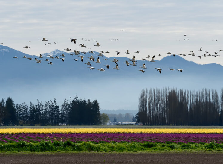 A flock of Snow Geese in flight over purple and gold tulips in bloom with Poplar trees and the Cascade mountains as their backdrop. © Jerry and Lois Photography, all rights reserved