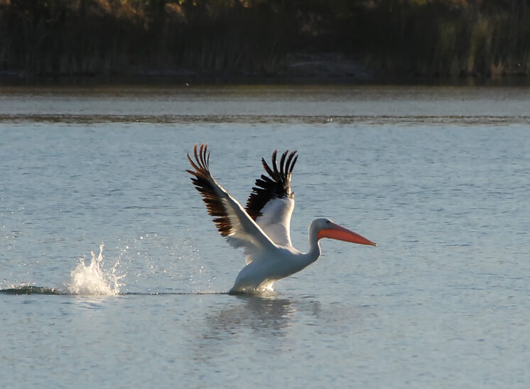 A Black and White Pelican taking off in backlit sunlight. © Jerry and Lois Photography, all rights reserved