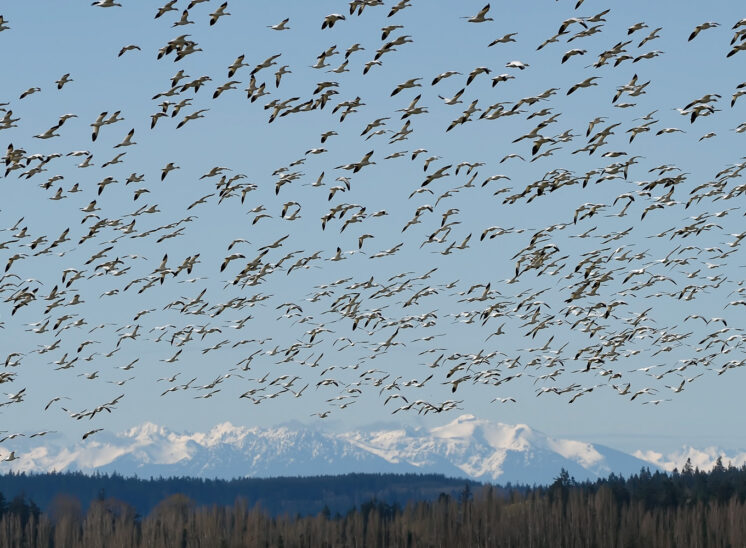 A large flock of Snow Geese in flight crowns the snow-covered Olympic Mountains. © Jerry and Lois Photography, all rights reserved