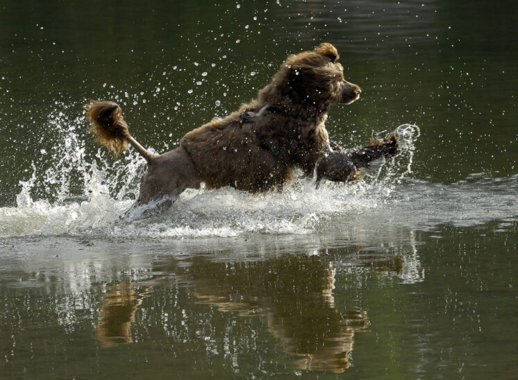A perfect moment caught as a Portuguese Water Dog in a