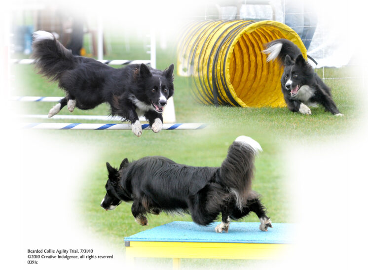 A border collie exhibiting drive and enthusiasm during an agility run. © Jerry and Lois Photography, all rights reserved
