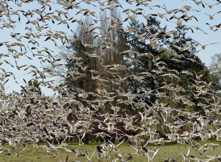 A large flock of Snow Geese coming in and landing directly in front of the camera. © Jerry and Lois Photography, all rights reserved