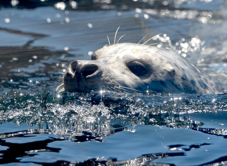 A Seattle Aquarium favorite fur seal closeup, encased in sparkling diamond-esque, sunlit waters. Jerry and Lois Photography