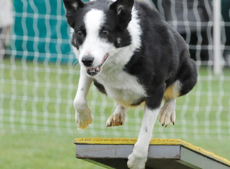 A Border Collie coming off the teeter during an agility run. © Jerry and Lois Photography, all rights reserved