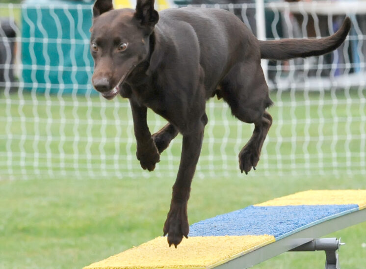A Chocolate Lab concentrating as it comes off the teeter during an agility run. © Jerry and Lois Photography, all rights reserved