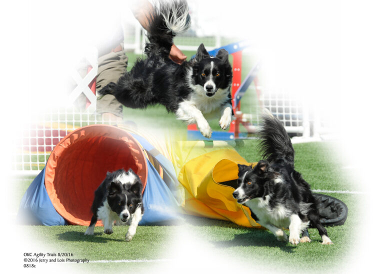 A Border collie with speed, intensity and focus during an agility run. © Jerry and Lois Photography, all rights reserved
