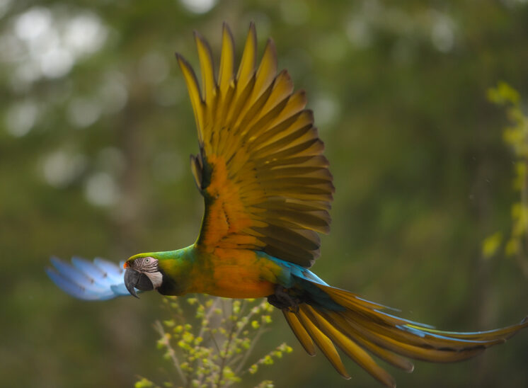 """""""Millie"""" - An extremely colorful hybrid Macaw in open-air flight at a local Macaw rescue location. © Jerry and Lois Photography, all rights reserved"""