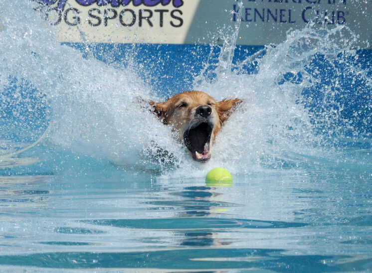 Dock Dogs: A yellow lab, with only the head visible as it lands, makes a HUGE splash while racing to snag the tennis ball. © Jerry and Lois Photography, all rights reserved