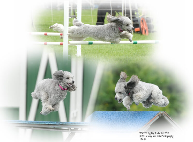 A poodle flying high over the obstacles in an agility run composite. © Jerry and Lois Photography, all rights reserved
