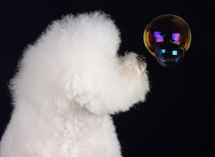 Bichon Frise study: Astutely pondering the ephemeral nature of a simple bubble. Jerry and Lois Photography