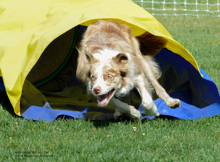 A Border Collie exploding out of the chute during an agility trial. © Jerry and Lois Photography, all rights reserved