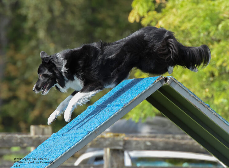 A Border Collie in flight over the A-frame in an agility run. © Jerry and Lois Photography, all rights reserved