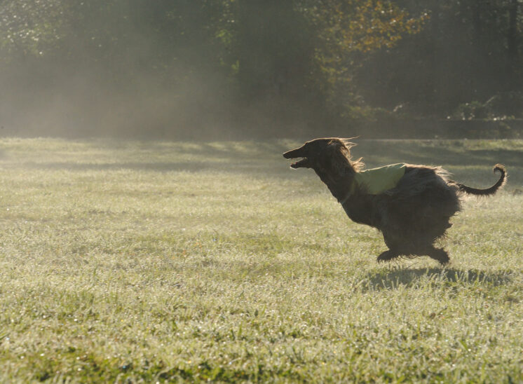An Afghan Hound running with all 4 feet in the air, shows its athleticism during a lure-coursing national competition in an early misty morning. © Jerry and Lois Photography, all rights reserved