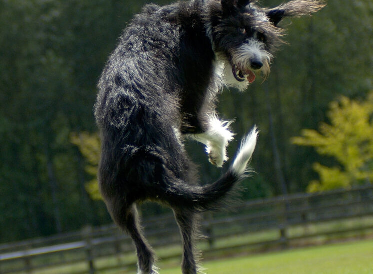 Comedic athlete: An accidental hybrid between a greyhound and a Portuguese Water Dog leaps, twirls, and smiles back into the camera. © Jerry and Lois Photography, all rights reserved