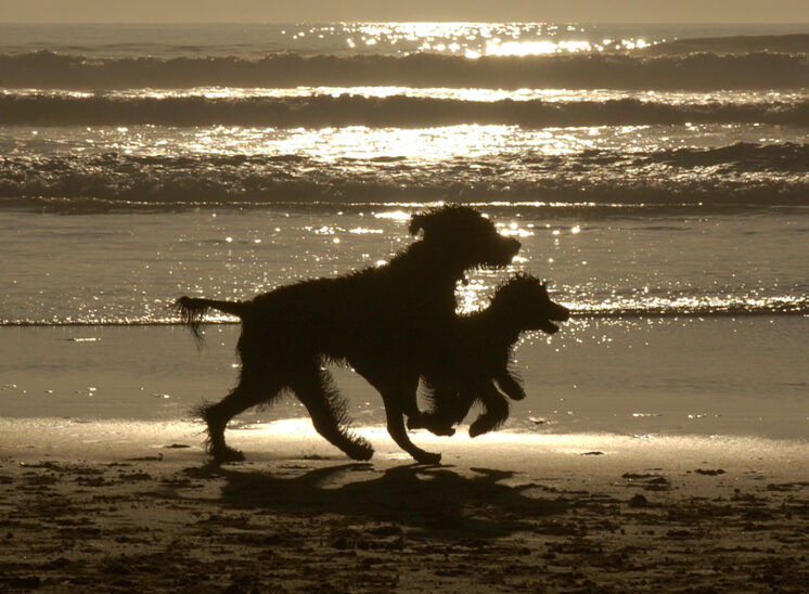 Silhouettes of Portuguese Water Dog mother and pup running in tandem on an ocean beach at sunset at Florence OR. © Jerry and Lois Photography, all rights reserved