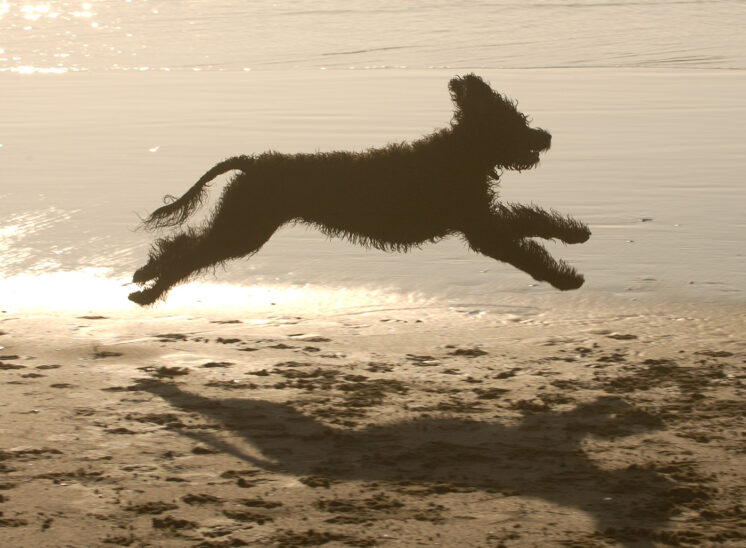 Silhouette of a Portuguese Water Dog catching air on an ocean beach at sunset at Florence OR. © Jerry and Lois Photography, all rights reserved