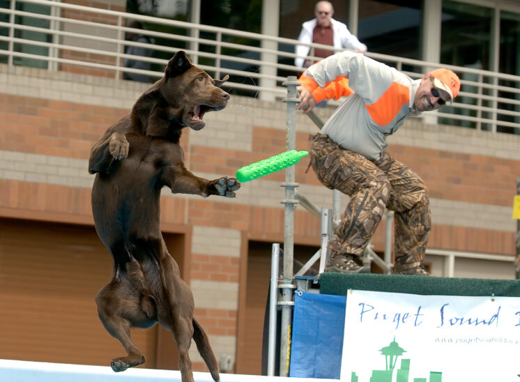 Dock Dogs competition: A chocolate lab reaches for his lure in mid air, saliva flinging about while the handler strikes an expressive pose. © Jerry and Lois Photography, all rights reserved