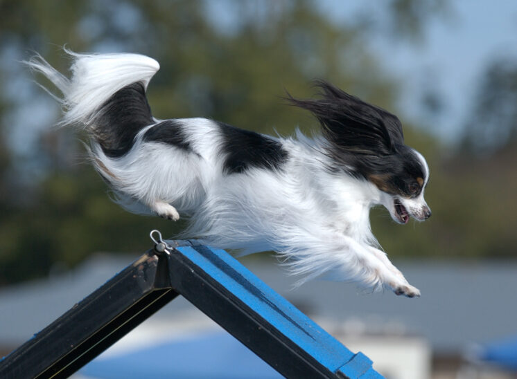 The one and only TIGGER: World champion agility Papillion catching air in flight over an A-Frame obstacle, with an elated smile on his face. © Jerry and Lois Photography, all rights reserved