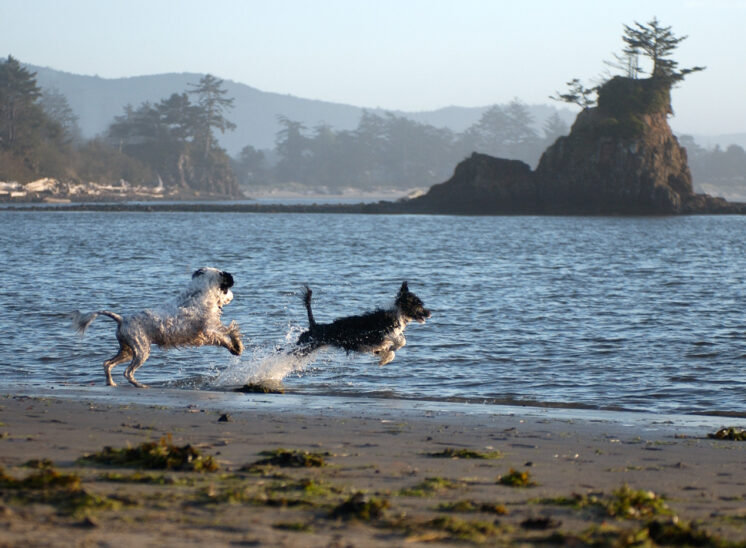 Two Portuguese Water Dogs playing on the beach in front of world-famous iconic formation at Siletz Bay, Oregon. © Jerry and Lois Photography, all rights reserved
