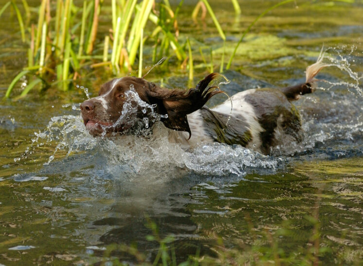 A springer spaniel charging through the water creating a fabulous bow wave frozen in the camera. © Jerry and Lois Photography, all rights reserved