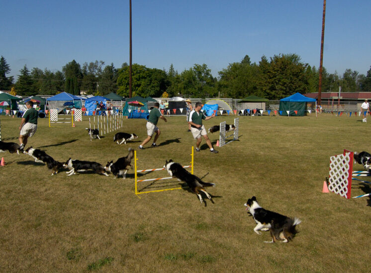 A Border Collie running an agility course, composited to show the flow over the obstacles. © Jerry and Lois Photography, all rights reserved