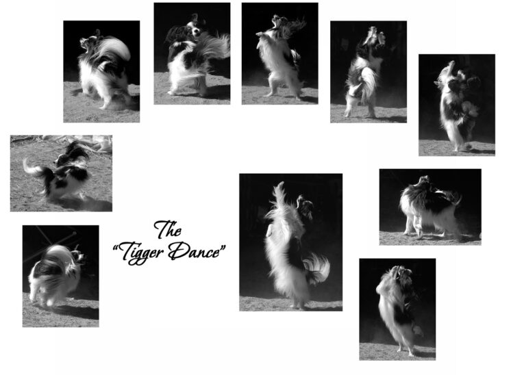 World Agility champion, Tigger - a Papillion - dances in a dusty sunbeam inside an old barn. © Jerry and Lois Photography, all rights reserved